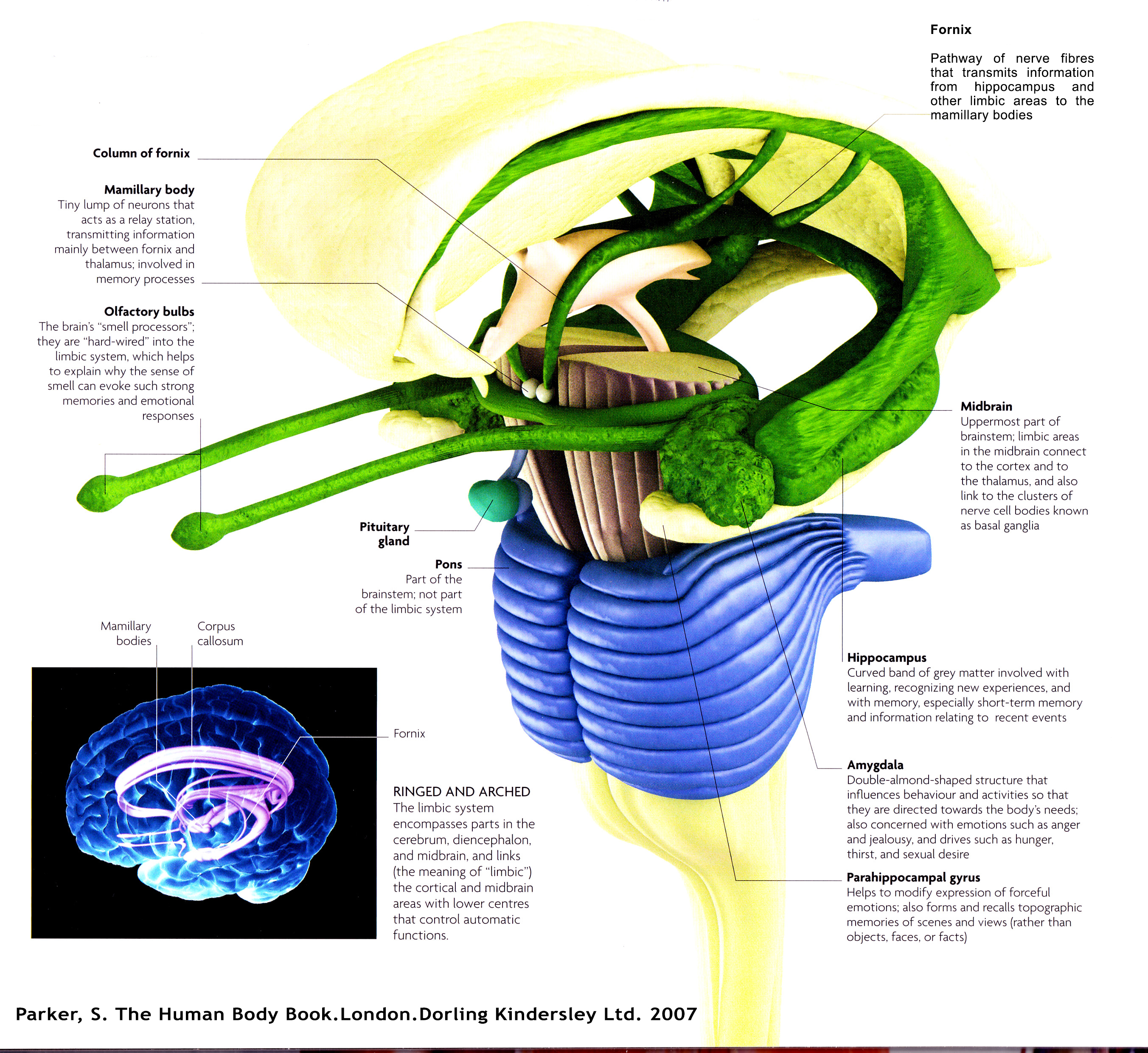 The limbic system diagram pathways of mined limbic system with olfactory ccuart Images